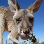eating kangaroo with aboriginals travel australia  5 150x150 Eating Kangaroo with Aboriginals   Travel Australia