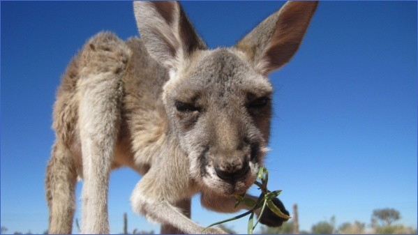 eating kangaroo with aboriginals travel australia  5 Eating Kangaroo with Aboriginals   Travel Australia
