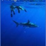 oahu shark diving 121 150x150 Oahu Shark Diving