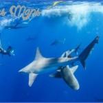 oahu shark diving 41 150x150 Oahu Shark Diving